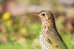 Song Thrush, Thrush, Birds, Turdus philomelos. Park birds - Song Thrush, Thrush, Birds, Turdus philomelos Stock Image