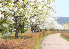 Park with blooming apple trees Royalty Free Stock Photography
