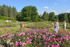 Park with blooming roses. The Rose Valley in Kislovodsk stock photos