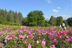 Park with blooming roses. The Rose Valley in Kislovodsk royalty free stock photography