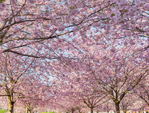 Park with cherry blossom in spring. Royalty Free Stock Image