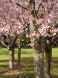 Park Cherry Blossoms @ Cornwall, Auckland, Neuseeland Lizenzfreies Stockbild