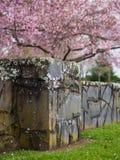 Park Cherry Blossoms @ Cornwall, Auckland, Neuseeland Lizenzfreie Stockfotografie
