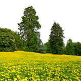 Park with dandelion field Royalty Free Stock Images
