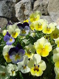 Park decoration with fresh pansies on rocky background. Yellow and blue pansies on rocky background in park Stock Image