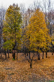 In the park. Defoliation leaf fall woodland belt autumn tree october forest park Royalty Free Stock Photos