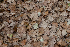 In the park. Defoliation leaf fall woodland belt autumn tree october forest park Royalty Free Stock Image