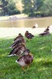 Park ducks Royalty Free Stock Photos