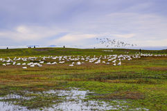 A park in an early winter, with thousands of snow geese Royalty Free Stock Photos