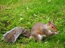 Park Engeland van het Land van Coombe van de aard het grijze eekhoorn Stock Afbeelding