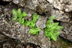 Park Fern Seedlings And Ancient Colds Lava Rocks In Etna National lizenzfreie stockbilder