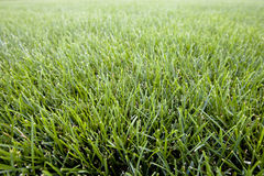 Park Field of Green Grass. Fresh green grass in park Royalty Free Stock Image