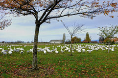 A park filled with thousands of snow geese Royalty Free Stock Photos