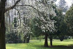 Park with flourishing tree Stock Photography
