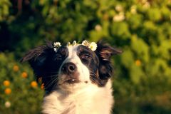 Dog with flower crown. A of at a park with a flower crown of daisies royalty free stock image