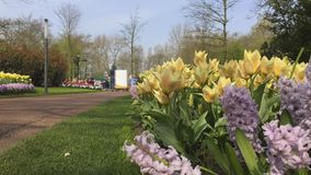 Park of flowers in Holland. Keukenhof with TimeLapse. Every year this Park receives nearly a million tourists stock video footage