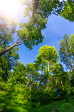 Park forest of tall trees and the sky with sunlight wide view Royalty Free Stock Images