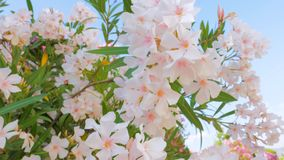 Park, garden, yard with tree in blossom. Close-up rich flowering with white little flowers. Mediterranean garden style. Beautiful bush in blossom with small stock footage