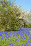 Park in with Grape Hyacinth in blossom and cherry tree. springti Royalty Free Stock Photo