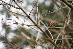 Red berries grow on a tree without leaves. Health and nature royalty free stock photos