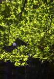 Park in japan. Green maple leaf in sunlight Stock Images
