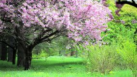 Park landscape of blossomed pink sakura trees and green lawns. Beautiful park landscape of blossomed pink sakura trees, green grass, bushes and lawns. Tracking stock video