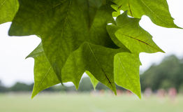 In the park - the leaves/close-up. This image shows some branches full of green leaves. It was taken in the Tooting Commons area on a sunny July day Royalty Free Stock Photography