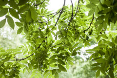 In the park - the leaves in the sun. This image shows some branches full of green leaves. It was taken in the Tooting Commons area on a sunny July day Stock Photography