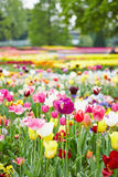 Park with many flowers and tulips Royalty Free Stock Images