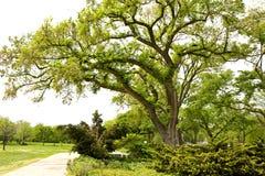 Park met grote oude groene boom tijdens lentetijd stock afbeeldingen