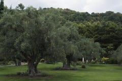 Park mit Olivenbäumen und Hügel stockbilder