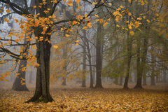 Park in the mornig. Magical Autumn Forest. Park. Beautiful Scene. Foggi morning Royalty Free Stock Photography