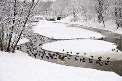 Park in Moscow with ducks after heavy snow Royalty Free Stock Photo