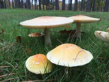Park mushrooms. Little mushrooms growing in a field royalty free stock image