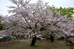 Park of Nagasaki city with sakura trees, Japan stock image