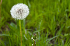 Park named Belousov. Dandelion in the grass Royalty Free Stock Images