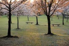 Park in Nara, Japan. An empty park during sakura, or cherry blossom season, Nara, Japan Royalty Free Stock Photo