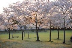 Park in Nara, Japan, with empty bench. An empty park during sakura, or cherry blossom season, Nara, Japan Stock Image