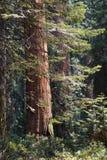 park narodowy wejściowa sequoia Zdjęcia Royalty Free