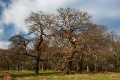 In the park. Old oaks in Richmond Park royalty free stock photo