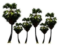 Park of Palm-sugar trees,tropical fruit growing up on organic farm isolated on white background royalty free stock photos