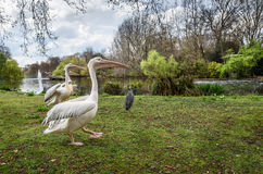 Park Pelicans Royalty Free Stock Photo