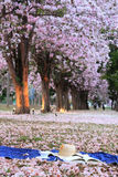 Park of pink trumpet tree. This is flower in summer at Thailand Royalty Free Stock Photos