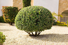 Park planting of green shrubs shorn by a round shape.  Stock Images