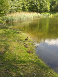 Park pond. Pond with ducks on a sunny day Stock Photography