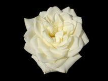 Park róży biały duży kwiat odizolowywający na czerni Fotografia Stock