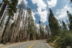 Park road curves into pine forest area ravaged fire  at Lassen Volcanic National Park Royalty Free Stock Images