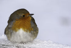 Park robin Stock Images