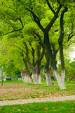 Park a row of large plane trees Stock Photos
