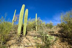 Park Saguaro, dichtbij Tucson in Arizona - de V.S. stock afbeelding